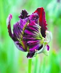 shop imports of ornamental plants world parrot tulip