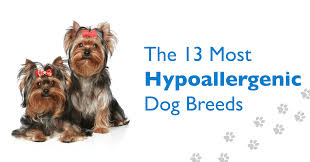 Do Hypoallergenic Dogs Shed As Puppies by 13 Hypoallergenic Dog Breeds