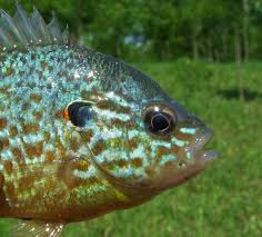 Pumpkin Seed Sunfish Pictures by Panoramio Photo Of Legdíszesebb Halunk A Naphal Lepomis