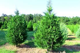 Leyland Cypress Christmas Tree Growers by Lebanon Christmas Tree Farm Family Owned Since 1985 Christmas