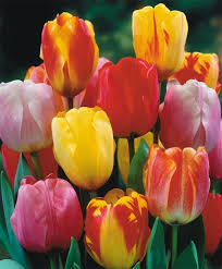 the darwin hybrid tulip mixture tulips flower bulb index