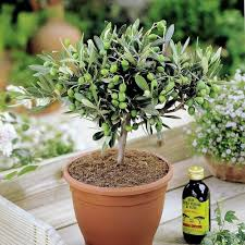 Christmas Tree Saplings For Sale Uk by Amazon Co Uk Trees Outdoor Plants Garden U0026 Outdoors