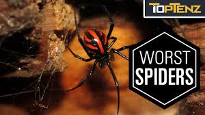 Top 10 Most VENOMOUS SPIDERS In The WORLD - YouTube Spiders At Spiderzrule The Best Site In World About Spiders 5 Venomous Found Colorado Outthere 109 And Webs Images On Pinterest Nature Ohios Biting Spidersrule The Barn Spider Pets Cute Docile Bug Eric Sunday Western Spotted Orbweaver Araneus Gemmoides Wikipedia Poisonous Georgia