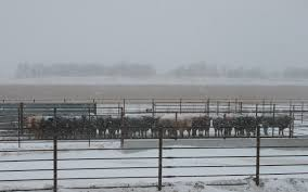 Market Highlights Expect Lower Cattle Weights Through Winter