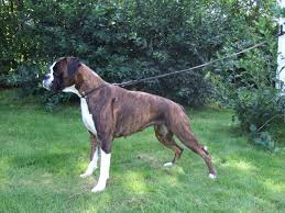 Guard Dogs That Dont Shed by Boxer Dog Breed Information Pictures U0026 More