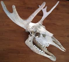 Moose Shed Antler Forums by Pin By Krisztina A Marton On Animal Skulls Pinterest Moose And