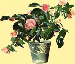 entretien du camelia en pot camellia élia culture soins et conseils
