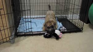 Do Irish Wheaten Terriers Shed by Soft Coated Wheaten Terrier Puppy Playing In His Crate Youtube