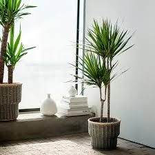 dracaena marginata pflanze drachenbaum 2 stämme 19 cm