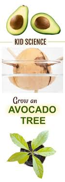FUN SCIENCE Can You Grow An Avocado Tree Using The Pit My Kids Thought