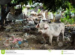Pig In Dirty Backyard Stock Photos - Image: 30192453 Backyard Livestock Quotes Archives City Farming Salmonella Is No Yolk When Raising Chickens News 2153 Best Show Girls World Images On Pinterest Showing 371 Livestock Farm Animals The Goat Next Door Chicagos Backyard Laws Youtube Pig In Dirty Stock Photos Image 30192453 5 Excellent Reasons To Keep Chickens Grow Network 241 Critters Life Valpo Family May Lose Their After Complaint Free Images Grass Bird White Farm Lawn Rural Food Beak What Raise On Your Homestead Or Cdc Are Giving Wellmeaning Owners