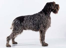 Griffon German Wirehaired Pointer Shedding by Wirehaired Pointing Griffon