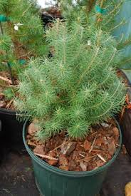 Types Of Christmas Trees To Plant by Christmas Tree Seedlings For Sale Wlrtradio Com