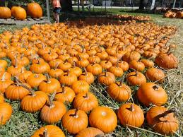 Pumpkin Patches Near Temple Texas by Pumpkin Patch Sprouts At St James New Tampa Fl Patch