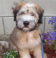 caring for your soft coated wheaten terrier pet dog wheaten