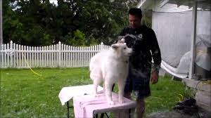 Do Samoyed Dogs Shed Hair by Mira U0027s Blow Out Youtube