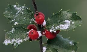 Winterberry Christmas Tree Farm by The Towering Ilex Shrub
