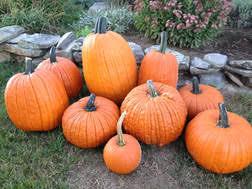 Portland Maine Pumpkin Patch by Events Harris Farm