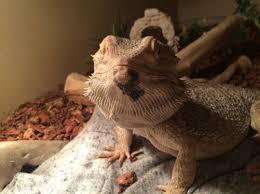 black patch on bearded dragon chin bearded dragon org