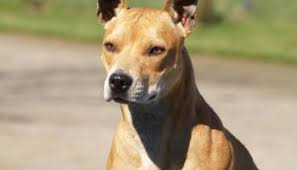 Protective Dog Breeds That Dont Shed by What Is A Friendly And Non Shedding Guard Dog Breed