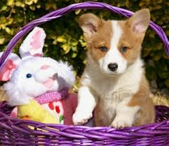 337 best Pembroke welsh corgi images on Pinterest