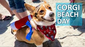 WORLD S LARGEST CORGI BEACH DAY 1 000 CORGIS Life After College