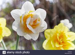 white daffodil narcissus bridal crown with yellow
