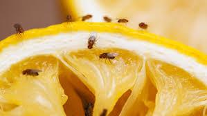 7 mittel gegen fruchtfliegen so bekämpft ihr obstfliegen