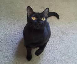 bombay cats bombay cat