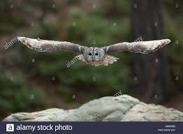 Tawny Owl Uk Flight Stock Photos & Tawny Owl Uk Flight Stock ... Flying Eurasian Eagle Owl Colorfull Winter Stock Photo 304031924 Barn Facts Pictures Diet Breeding Habitat Behaviour Best 25 Owl Sounds Ideas On Pinterest Owls Beautiful Wowzers Blog Centre Gloucester Wikipedia 10 Fascating About Bckling Estate A Barn Owls Home National Trust Birds Of Prey Shavers Creek Raptor Center Kohrphotos The Barn Owl Wallpapersbirds Unique Nature Hd Wallpapers