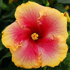 1753 best hibiscus images on hibiscus flowers