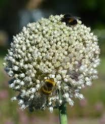 flower bulbs for bees