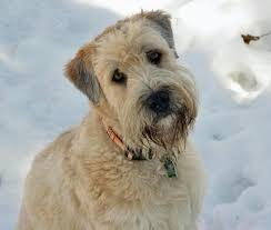 Do Wheaten Terrier Dogs Shed by Sam The Wheaten Terrier Dogs Daily Puppy Cooper Pinterest