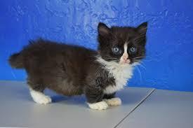 tea cup cat ragdoll kitten ragdoll ragamuffin teacup and munchkin kittens