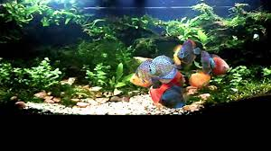 DISCUS And AQUASCAPE (July 2013) - YouTube Adrie Baumann And Aquascaping Aqua Rebell Natural Httpwwwokeanosgrombgwpcoentuploads2012 Amazoncom Aquarium Plant Glass Pot Fish Tank Aquascape Everything About The Incredible Undwater Art Outstanding Saltwater Designs Photo Ideas Anubias Nana Petite Planted Freshwater Beautify Your Home With Unique For Large Fish Monstfishkeeperscom Scape Nature Stock 665323012