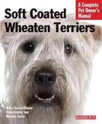 soft coated wheaten terrier puppy baby so adorable fluffers