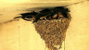 A Day (a Week) In The Life Of Barn Swallow Fledglings - YouTube Bird Nest Idenfication Identify Nests How To Get Rid Of Swallows Best 25 Barn Swallow Ideas On Pinterest Pretty Birds Blue Bird Tree Have Returned From Migration To In Gourds Stained Glass Window March 2017 Cis Corner F June 2012 Nextdoor Nature Stparks Roosting For The Love Birds Easy Tips Attract Swifts And Martins True Life With God Hard Swallow Avian Explorer Blog Archive Babies Cottage Country Reflections Darou Farm Site Demolition Is Hold