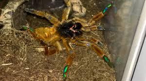 Pumpkin Patch Tarantula Scientific Name by The Queen Of Throwing Tantrums For No Reason Tarantulas