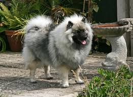Dogs That Dont Shed Keeshond by Breed Profile Keeshond Petful