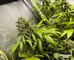 fin de floraison cannabis exterieur quand récolter le cannabis philosopher seeds