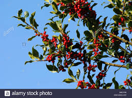 Winterberry Christmas Tree by Holly Tree With Red Berries Uk Stock Photo Royalty Free Image