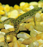 Should African Dwarf Frogs Shed by Meet My Frogs African Dwarf Frogs