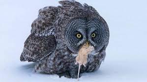 Amateur Photographer Captures The Moment A Great Grey Owl Kills Mouse