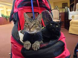 service cats 45 best cats that offer assistance images on animals