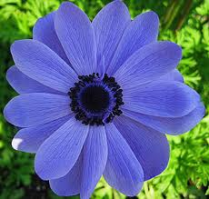free blue poppy anemone bulbs gardening seeds bulbs listia