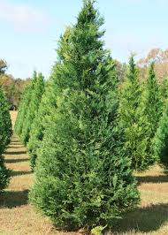 Balsam Christmas Trees by Decorate For Christmas With Mississippi Trees Mississippi State