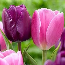 emperor fosteriana tulip 10 bulbs heirloom 12