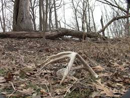 Does Deer Shed Their Antlers by Everything You Need To Know About Shed Hunting Wired To Hunt