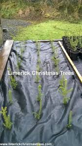 Christmas Tree Saplings For Sale by Limerick Christmas Tree Centre