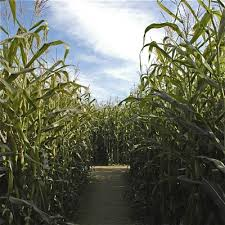 Sauvies Island Pumpkin Patch Corn Maze by Golocalpdx The 25 Best Corn Mazes Apple Orchards And Haunted